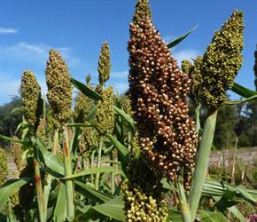 Sunburst reccomend Dale cane seed matures days