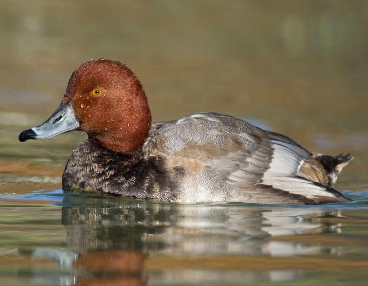 Videos of redhead ducks