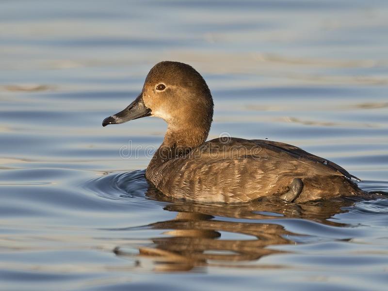 Swallowtail reccomend Videos of redhead ducks