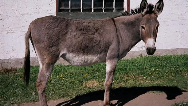 Indominus reccomend Jack ass equine