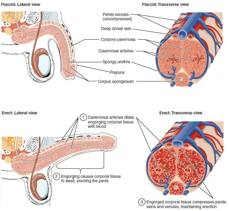 Erect penis penetration