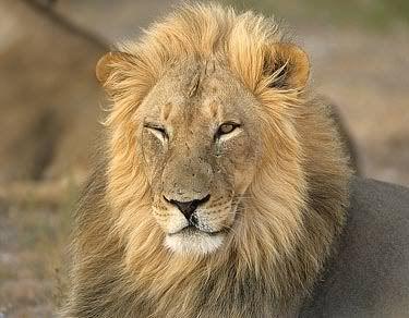 Lumber reccomend Facial lion expressions