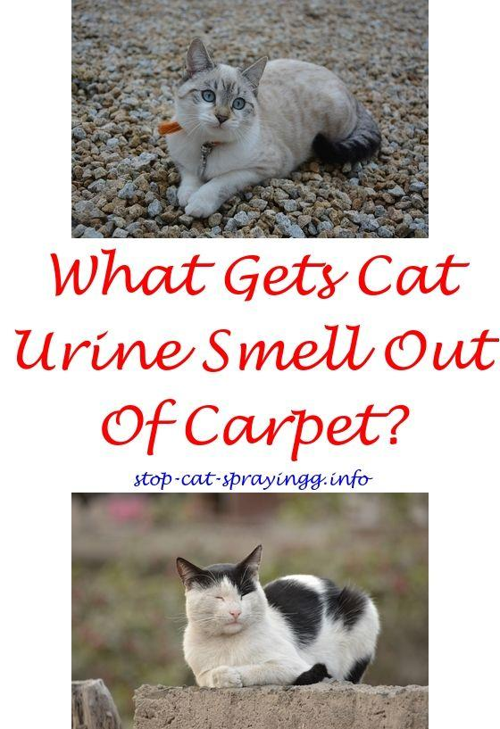 Spayed female cat peeing everywhere
